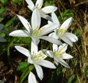 Bach-Star-of-Bethlehem-Flowers-864px